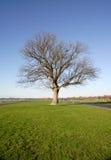 Árbol de roble solo Imagen de archivo