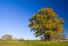 Árbol de roble solo en otoño Imagenes de archivo