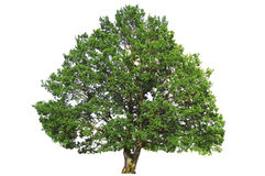 Árbol de roble verde Imagen de archivo libre de regalías