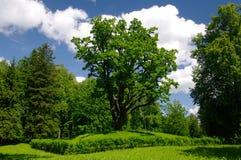 Árbol de roble verde. Foto de archivo libre de regalías