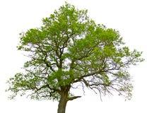 Árbol de roble verde aislado Imagen de archivo libre de regalías