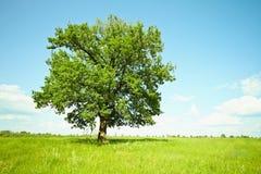 Árbol de roble viejo en prados verdes Fotografía de archivo