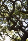 Árbol de roble vivo. fotos de archivo
