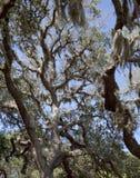 Árbol de roble vivo y musgo español Foto de archivo