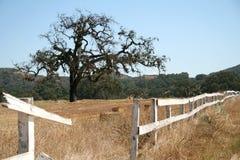 Árbol de roble y cerca blanca en un rancho Fotos de archivo libres de regalías
