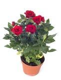 Árbol de Rose Fotografía de archivo