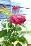 Árbol de Rose Imagenes de archivo