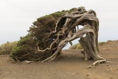 Árbol de Sabina Fotos de archivo
