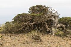 Árbol de Sabina Imagenes de archivo