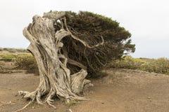 Árbol de Sabina Foto de archivo libre de regalías