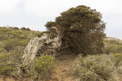 Árbol de Sabina Imagen de archivo libre de regalías