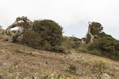 Árbol de Sabina Fotografía de archivo libre de regalías
