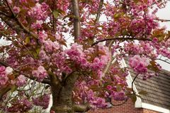 Árbol de Sakura en flor Foto de archivo libre de regalías