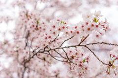 Árbol de Sakura (flor de cerezo) en el parque de Sakuranomiya, Osaka, Japón, Fotos de archivo