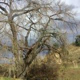 Árbol de sauce floreciente foto de archivo libre de regalías
