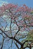 Árbol de seda de la seda en la floración debajo del cielo azul Fotografía de archivo libre de regalías