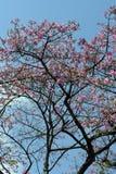 Árbol de seda de la seda en la floración debajo del cielo azul Imagen de archivo