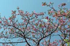 Árbol de seda de la seda en la floración debajo del cielo azul Imágenes de archivo libres de regalías