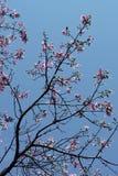 Árbol de seda de la seda en la floración debajo del cielo azul Foto de archivo libre de regalías