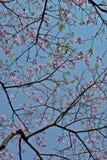 Árbol de seda de la seda en la floración debajo del cielo azul Imagen de archivo libre de regalías