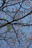 Árbol de seda de la seda en la floración debajo del cielo azul Fotos de archivo libres de regalías