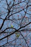 Árbol de seda de la seda en la floración debajo del cielo azul Imagenes de archivo