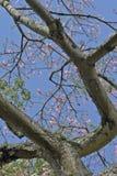 Árbol de seda de la seda en la floración debajo del cielo azul Fotos de archivo