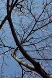 Árbol de seda de la seda en la floración debajo del cielo azul Fotografía de archivo