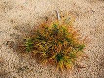 Árbol de sequía de la arena Imagen de archivo libre de regalías
