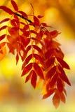 Árbol de serbal Fotos de archivo
