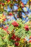 Árbol de serbal Foto de archivo
