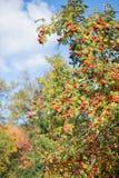 Árbol de serbal Imagen de archivo