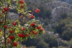 Árbol de serbal Imagen de archivo libre de regalías