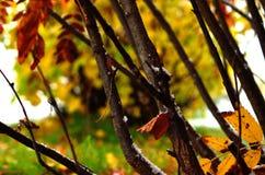 Árbol de serbal colorido con nieve en último otoño Imagen de archivo libre de regalías