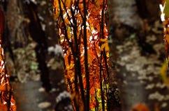 Árbol de serbal colorido con nieve en último otoño Fotos de archivo