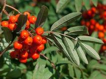 Árbol de serbal con las bayas y las hojas rojas del verde Serbal en una rama foto de archivo libre de regalías