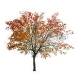 Árbol de serbal en el último otoño en blanco Imagen de archivo