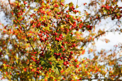 Árbol de serbal en el bosque del otoño Fotos de archivo libres de regalías