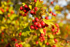 Árbol de serbal en el bosque del otoño Imagen de archivo