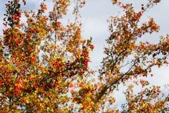 Árbol de serbal en el bosque del otoño Fotografía de archivo libre de regalías