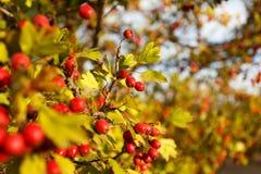 Árbol de serbal en el bosque del otoño Imagen de archivo libre de regalías