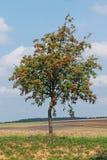 Árbol de serbal en el medio del campo del otoño Foto de archivo libre de regalías
