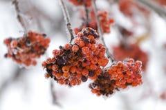 Árbol de serbal en la nieve Fotografía de archivo libre de regalías