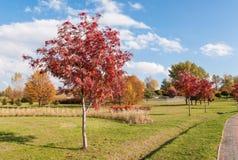 Árbol de serbal en otoño Foto de archivo libre de regalías