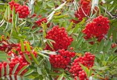 Árbol de serbal mojado con las bayas rojas Imagen de archivo libre de regalías