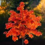 Árbol de serbal rojo durante otoño Imagenes de archivo