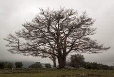 Árbol de Solated en Segovia, España Fotos de archivo
