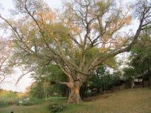 Árbol de Sycomore fotografía de archivo libre de regalías