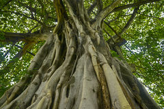 Árbol de Tailandia Foto de archivo libre de regalías