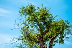 Árbol de tamarindo Fotos de archivo libres de regalías